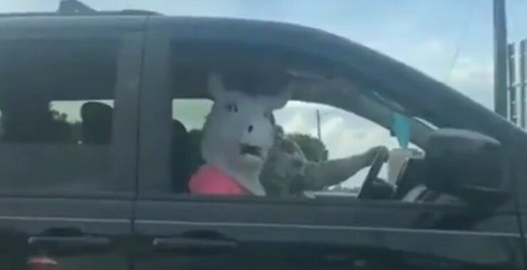 A Singing Cow