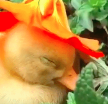 A Baby Duck Falling Asleep with a Flower on Its Head