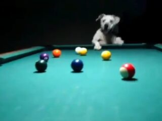 A dog playing pool