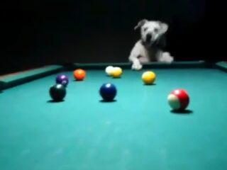 A dog playing pool