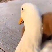 A dog cuddling a duck