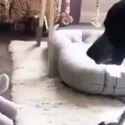 Stuffed elephant freaks out dog