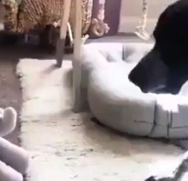 Stuffed elephant freaks out dog