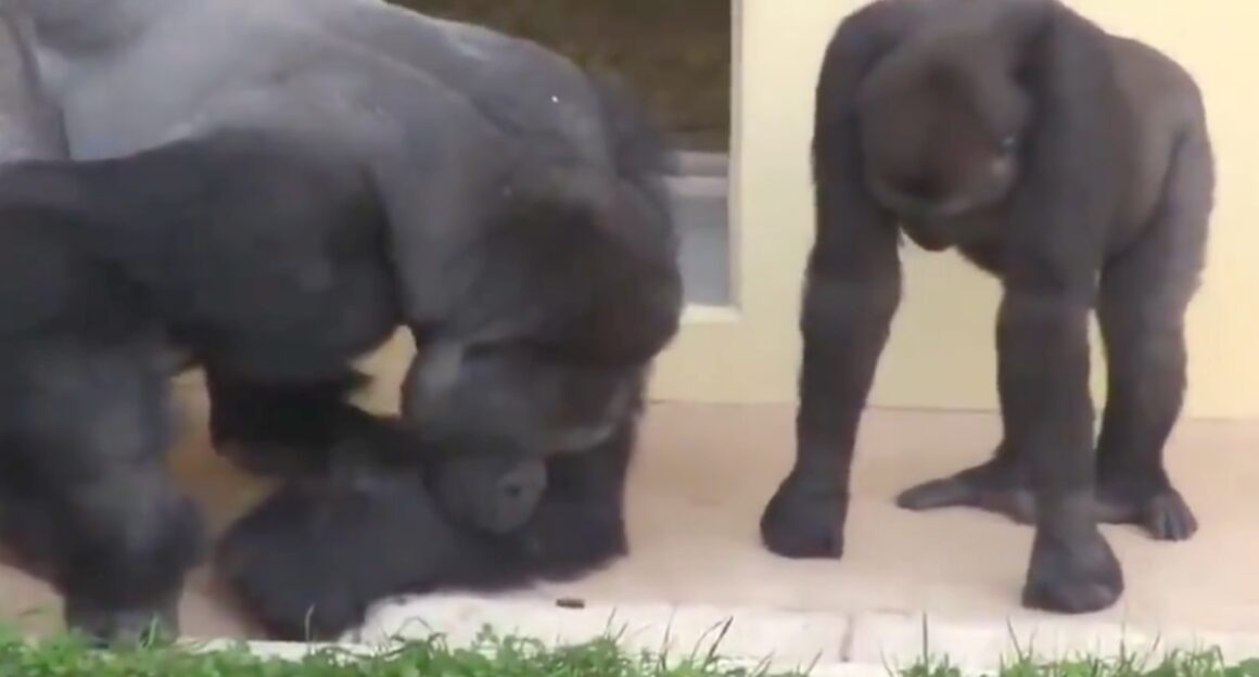 Silverback gorillas enthralled by caterpillar